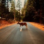 Wildlife strife: the dangers of swerving for animals on the road